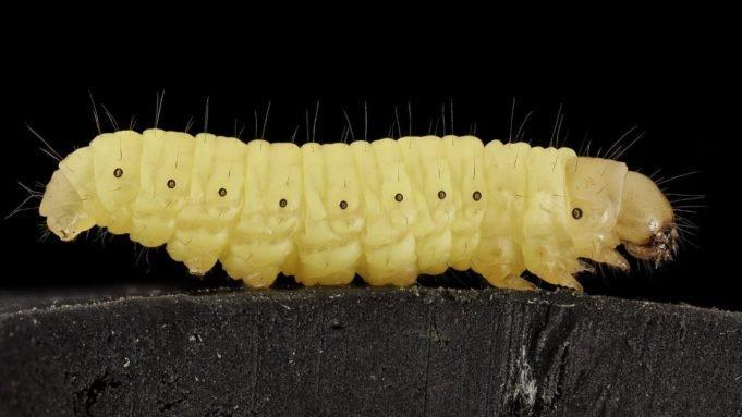 plasticata-mangiata-da-un-verme